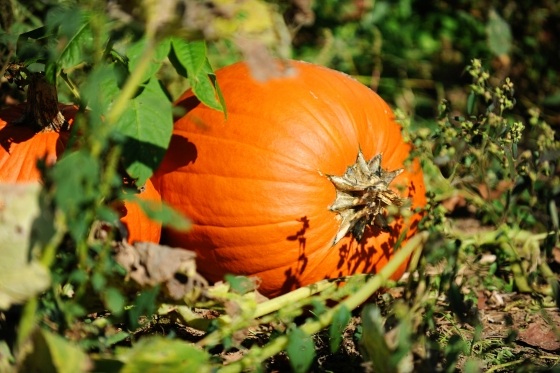 Enjoy a walk through our pumpkin patch.